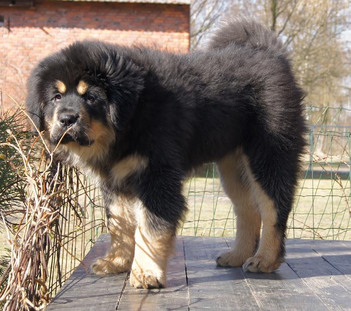 kupie mastifa tybetańskiego